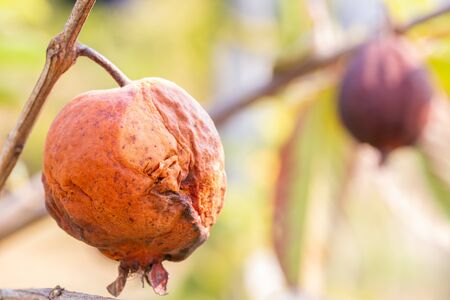 Rotten guavas hang from a tree in drought, El Nino, selective focus point, macro.