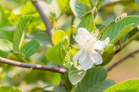 Guava flower, in bloom, among bright sunlight, on green leaves blurred background, macro. Zdjęcie Seryjne