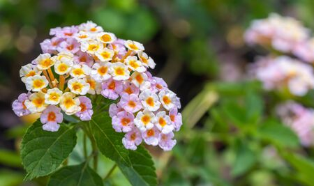 Colorful flower, Lantana, Wild sage, Cloth of gold (Lantana camara L.) with water droplets, in soft blurred style, on green leaves blur background, Macro.