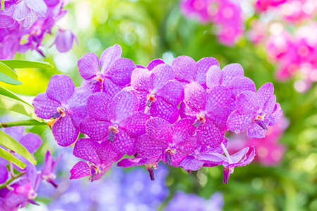 Purple orchids, Vanda, with water droplets, on bright sunlight and soft blurred style, on green leaves blur background, macro.