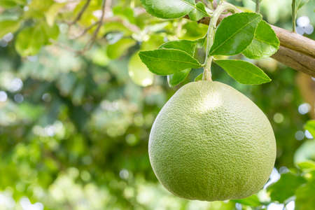 Tropical fruits, Pomelo (Citrus maxima), hanging from a branch on a tree, among bright sunlight, on green leaves bokeh background, macro.