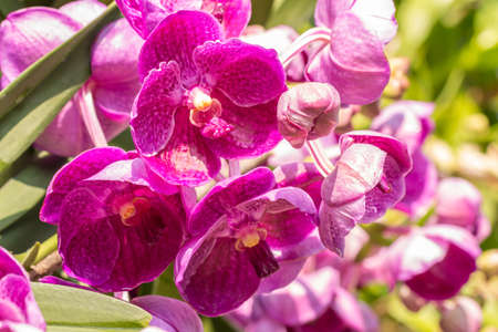 Pink orchids, Vanda, with water droplets, blooming in the garden, bright sunlight, among green leaves and other blossom blur background, in soft blurred style, selective focus point.