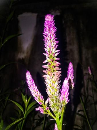 Beautiful sweet flower lily after rain Stock Photo