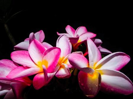 Beautiful frangipani sweet flower lily lifestyle