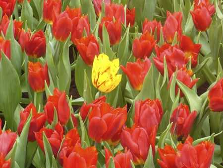 Yellow and red tulip under the sunshine Stock Photo - 867822