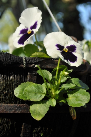 Double white Pansy
