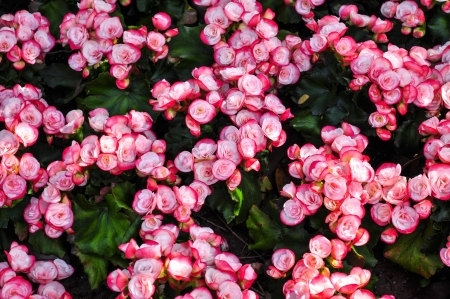Linked White Pink Begonia