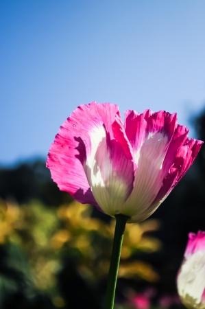 Pink opuim poppy flower with clear sky Stock Photo - 15267963