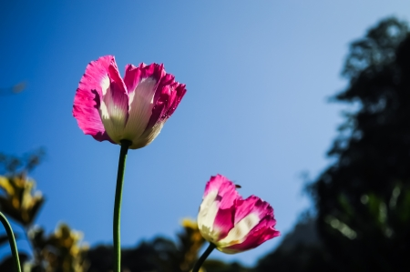 Double Pink opuim poppy flower Stock Photo
