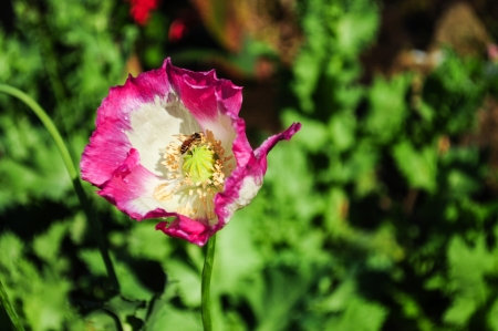 Bee over pink opuim poppy flower Stock Photo - 15268002