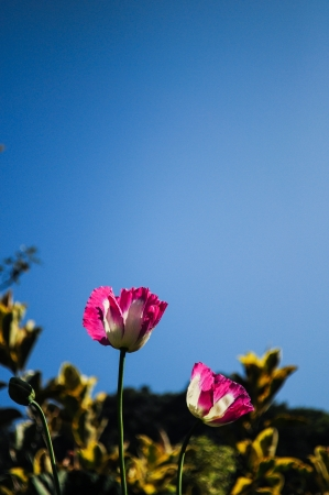 Pink opuim poppy flower with clear sky Stock Photo