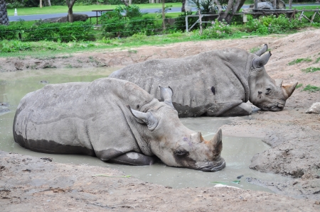 Two rhinos is laying in the mud pond at the open zoo  photo
