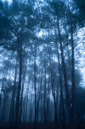 The misty pine tree forest at morning photo