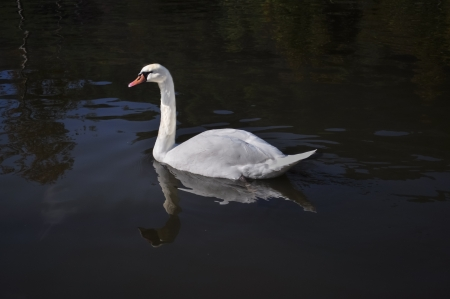 A white swan is swimming in a reflection pond Stock Photo - 16946001