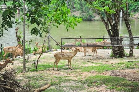 The group of Eld s deer in a zoo  Stock Photo