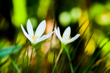 The closeup of white Rain Lily  Scientific name   Zephyranthes spp