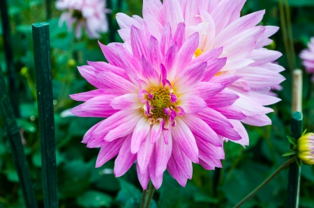 The closeup of a pink Chrysanthemum flower in a park