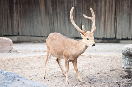 A Sambar deer with beautiful horn in a zoo photo