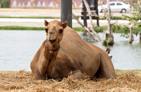 Arabian camel resting near the pond in a zoo Stock Photo - 17819846