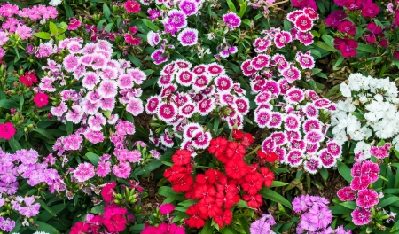 The colorful Dianthus flowers in a park .