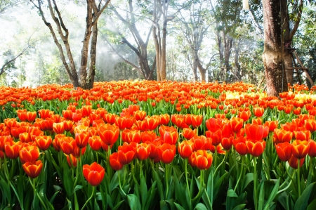 The field of orange tulips in a park  photo
