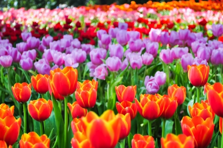 The colorful tulips field in a park
