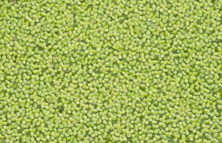 The water surface was covered by duckweed  Stock Photo