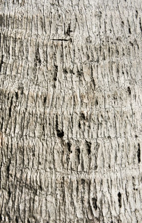 Rough gray coconut tree wood bark natural texture background  photo