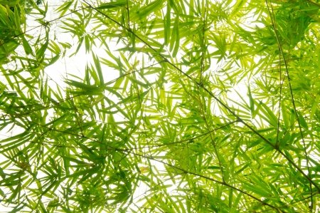 serenity: The fresh green bamboo leaves background
