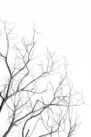 tree branch: The branches of dead tree isolated on white background