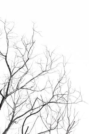Las ramas del árbol muerto aisladas sobre fondo blanco