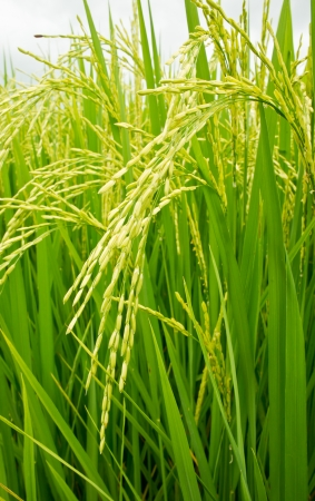 The closeup of green rice in a rice field Stock Photo