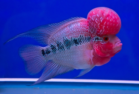 The crossbreed cichlid fish (flower horn) in a fish tank Stock Photo
