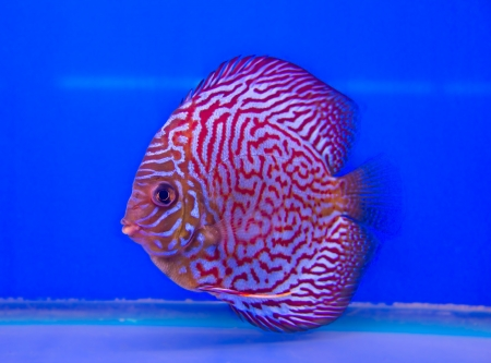 Pompadour (Discus) fish in a fish tank Stock Photo - 21151532
