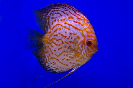 Pompadour (Discus) fish in a fish tank Stock Photo - 21151543