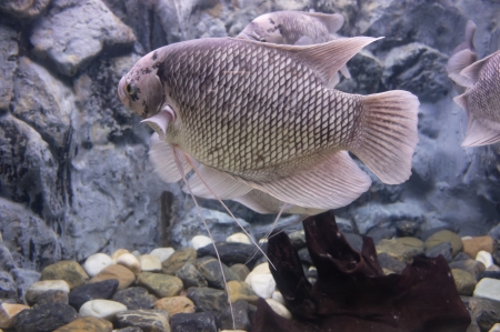 gourami: The giant gourami fish in a fish tank.