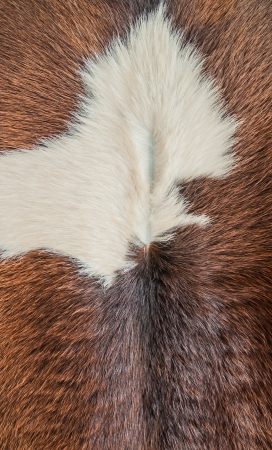 The closeup of brown cow fur background Stock Photo