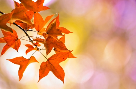 The autumn maple leave on pink bokeh background Stock Photo