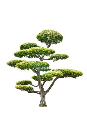 白い背景に分離された盆栽の木 写真素材