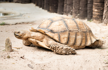 Sulcata Tertoise (Geochelone Sulcata), the third largest tertoise species in the world Stock Photo - 25800069