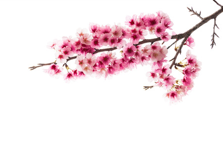Sakura or Cherry blossom flower isolated on white background Stock Photo