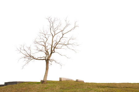 Single old and dead tree isolated on white background photo