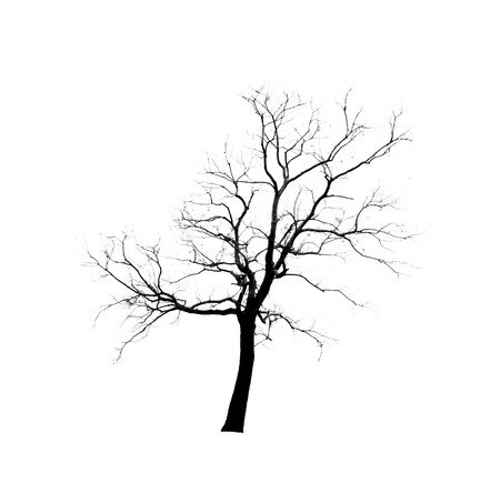 b w: Single old and dead tree isolated on white background