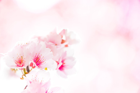 Spring flowering branches, pink flowers, no leaves, blossoms Almond isolated on pink background