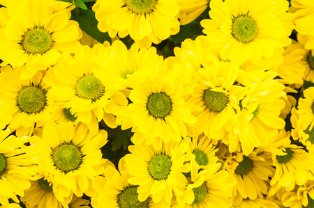 The top view of yellow Chrysanthemum flower for background use