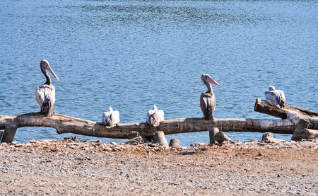 A group of pelican bird standing beside a pond