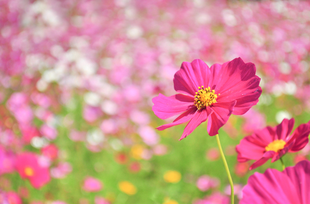 Close up of pink cosmos flower in the field