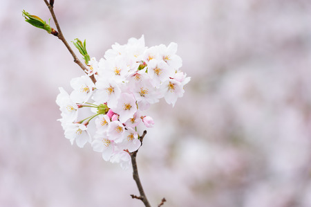Spring flowering branches, pink flowers, no leaves, blossoms Almond, Sakura
