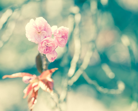 Pink Sakura or Cherry blossom flower in vintage tone
