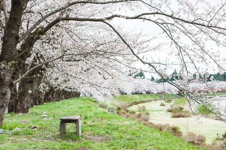 Spring blossoms Almond, Sakura flowering branches, pink flowers with bench